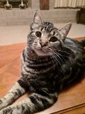 La vie heureuse d'animal familier de chat de chat de sourire photographie stock