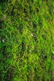 La vie micro de lichen vert dense frais de mousse de plan rapproché se développe sur l'écorce de tronc d'arbre fond naturel, text images stock