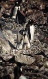 La vie sauvage antarctique Image stock