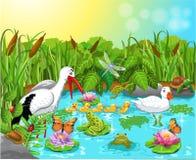 La vie sauvage dans l'étang Photos libres de droits