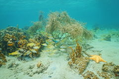 La vie sous-marine sur une mer des Caraïbes de fond de la mer peu profond Photographie stock