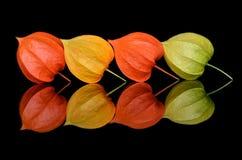La vie toujours de quatre fleurs Fesalis photo stock