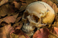 La vie toujours du crâne Images libres de droits