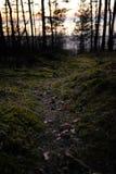 La vieille forêt près du côté de mer avec de la mousse a couvert les arbres et la lumière du soleil de crépuscule dans le bokeh - photographie stock libre de droits