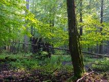 La vieille mousse a enveloppé l'arbre de charme dans le support à feuilles caduques Images stock