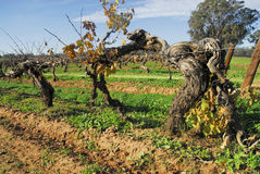 La vieille vigne-Australie Image stock