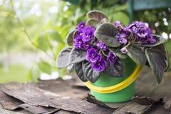 La vieille violette laide se développe dans un pot sur la rue par temps beau Image stock