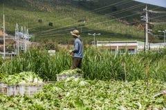 La vietnamita sta lavorando al campo delle verdure Immagine Stock