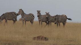 La vigilancia en el salvaje mantiene animales seguros almacen de video