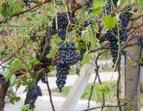 La vigna e l'uva hanno danneggiato dopo la tempesta violenta con grandine che distrugge la parte principale del raccolto fotografie stock
