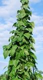 La vigne d'haricot tend au ciel Image stock