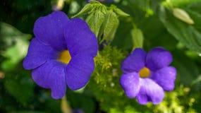 La vigne de ciel bleu fleurit dans un jardin zoologique Image libre de droits