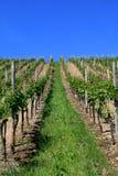 La vigne en été Photographie stock libre de droits