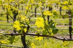 La vigne laisse l'élevage dans le vignoble en premier ressort Photographie stock
