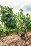 La vigne noble se développe Images libres de droits