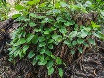 La vigne verte grandissent sur l'arbre de matrice pour la texture de fond photo stock