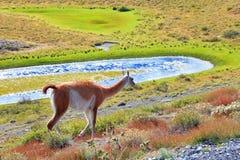 La vigogna affascinante sulla riva Fotografia Stock
