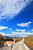 La vigogna attraversa la strada della ghiaia Fotografia Stock Libera da Diritti