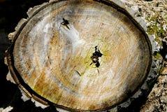 La villa a appelé le rond du tronc d'Andrea Poplar dans le tronc de peuplier dans les montagnes de Berici dans la province de Vic Images stock