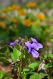 La viola brucia in profondità nel legno Fotografie Stock