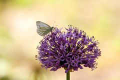 La viola decorativa della cipolla del aflatunense dell'allium fiorisce il primo piano Immagine Stock
