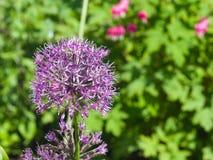 La viola decorativa della cipolla del aflatunense dell'allium fiorisce il primo piano, il fuoco selettivo, DOF basso Immagine Stock