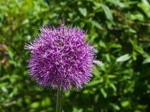 La viola decorativa della cipolla del aflatunense dell'allium fiorisce il primo piano, il fuoco selettivo, DOF basso Immagini Stock Libere da Diritti