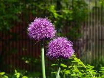 La viola decorativa della cipolla del aflatunense dell'allium fiorisce il primo piano, il fuoco selettivo, DOF basso Fotografia Stock