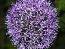 La viola decorativa della cipolla del aflatunense dell'allium fiorisce il primo piano, il fuoco selettivo, DOF basso Fotografia Stock Libera da Diritti
