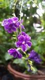 La viola dei repens di duranta di erecta di Duranta fiorisce i fiori porpora immagini stock libere da diritti