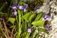 La viola es blosome debajo del toldo de bosque Foto de archivo