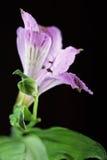 La viola fiorisce il alstroemeria Fotografia Stock