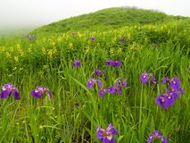 La viola fiorisce il prato   Fotografia Stock