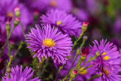 La viola variopinta fiorisce il primo piano di alpinus dell'aster Immagine Stock