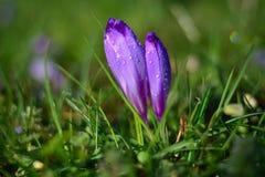 La violeta en la flor se destaca con las gotitas de agua