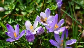 La violeta en la flor se destaca con las gotitas de agua imagenes de archivo