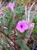 La violeta es flores azules hoy Imagen de archivo