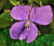 La violeta es púrpura Fotografía de archivo libre de regalías