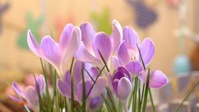 La violeta florece concepto tradicional del símbolo de la celebración de pascua del primer almacen de video