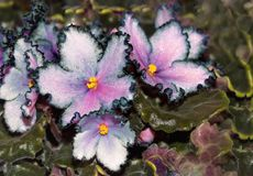 La violeta florece el primer en una granja, en un fondo verde Foto de archivo libre de regalías