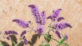 La violeta floreciente de la menta o del mentha florece el primer en el macizo de flores, foco selectivo, DOF bajo fotos de archivo