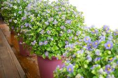 La violeta persa florece en pequeños potes en balcón de madera imagen de archivo