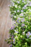 La violeta persa florece en pequeños potes en balcón de madera imagen de archivo libre de regalías