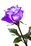 La violeta se levantó Imagen de archivo libre de regalías