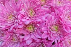La violeta vibrante coloreó las flores del crisantemo, fondo natural Fotografía de archivo libre de regalías