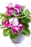 La violette africaine fleurit l'usine à la maison dans le pot sur le fond blanc Images libres de droits