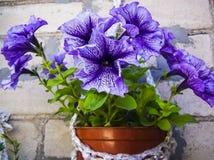 La violette dans un pot orne le mur de briques de la maison photographie stock