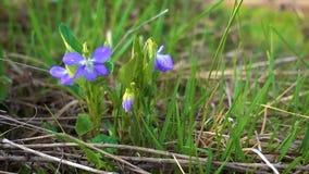 La violette de forêt tremble légèrement dans le vent léger de ressort dans la jeune herbe verte banque de vidéos