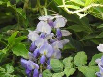 La violette de glycine Photos libres de droits