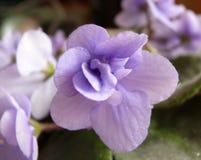 La violette de Nataly féerique Images stock